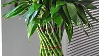 lucky bamboo, dračinec sanderův