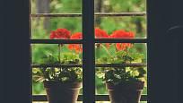 Muškátům se výborně daří mezi okny starých chalup, pokud jsou obývané.
