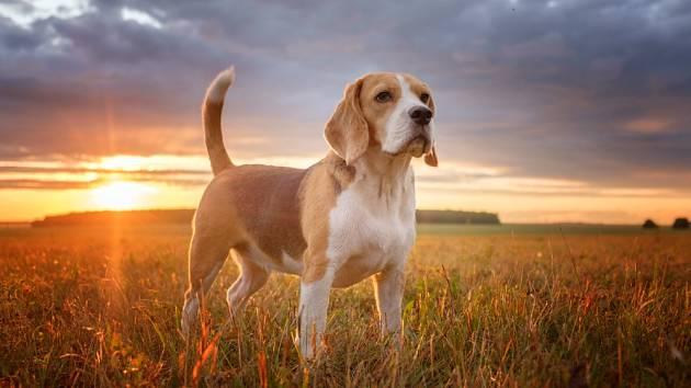 Když pes vrtí ocasem, nemusí být zákonitě šťastný