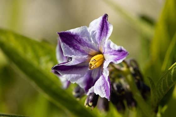 Pepíno je pohledná rostlina s výraznými květy