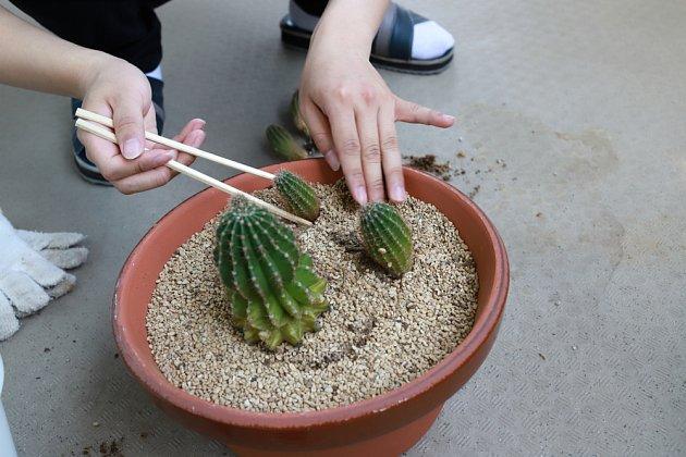 Zvýšenou opatrnost při přesazování vyžadují kaktusy.
