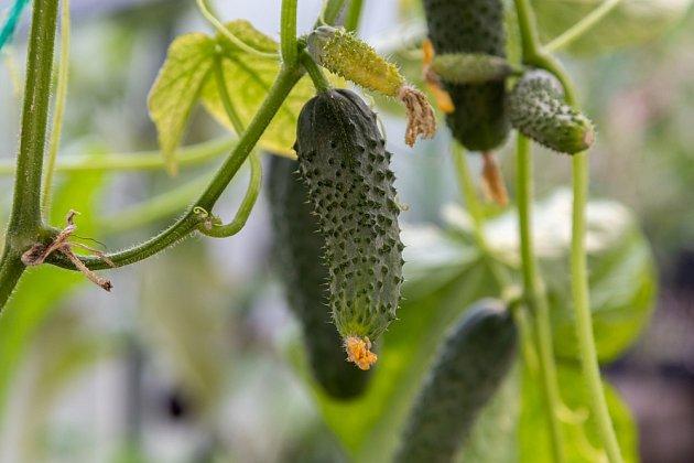 Chlebové hnojivo je ideální volbou pro 'přikrmování' okurek v době květu