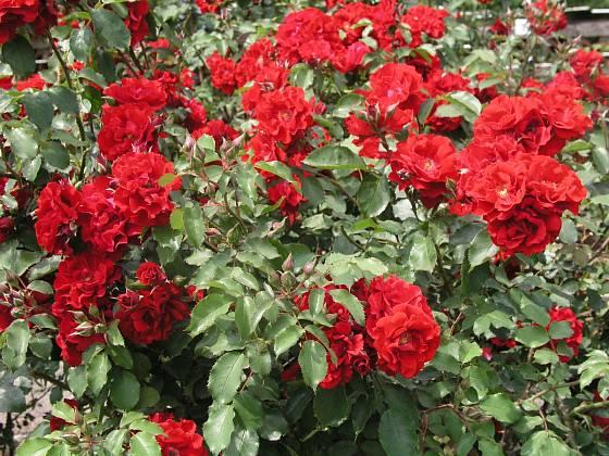 Sadová růže, odrůda Roter Korsar