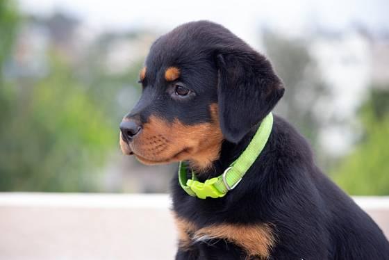 Rotvajler je vhodný pro své vlastnosti i jako pes služební.