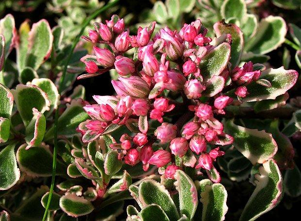 Plazivé rozchodníky lze pěstovat v řadě kultivarů