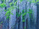 Vistarie jsou nejkrásnější v době květu.