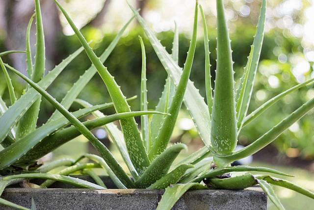 Aloe vera je rovněž spolehlivě rostoucí pokojovou rostlinou, kterou si může doma pěstovat každý.