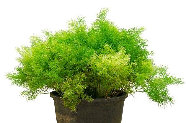 Asparagus sprengeri je ideální právě pro pěstování na severně orientovaném okně.