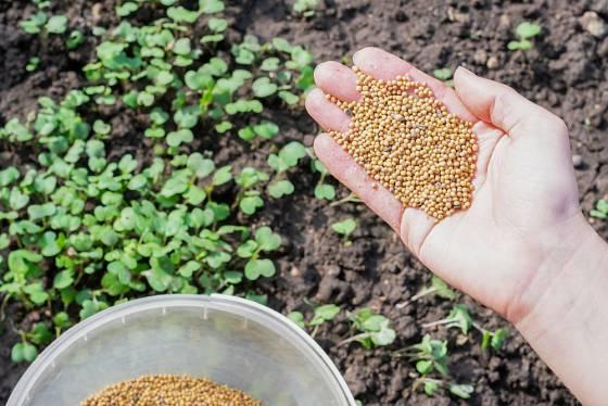Na zelené hnojení můžeme vysévat např. hořčici.
