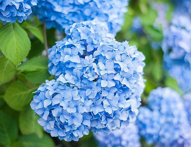 modré hortenzie, legendární zahradní trvalky