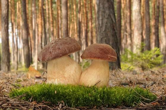 Hřib borový (Boletus pinophilus) roste v borových nebo smíšených lesích.
