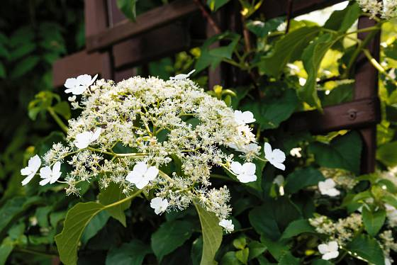 Hortenzie řapíkatá (Hydrangea petiolaris)