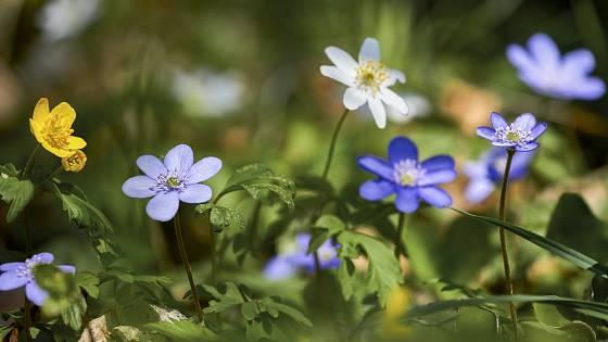 I naše plané jarní lesní květiny jsou okouzlující: jaterník podléška a sasanka hajní
