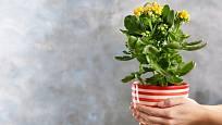 Kalanchoe doplněná atraktivním obalem je vhodná i jako květinový dárek.