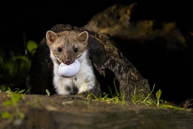 Na lov se vydává kuna skalní v nočních hodinách.