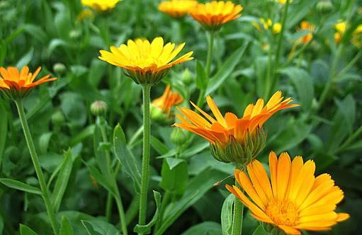 I léčivý měsíček lze využít jako zelené hnojení