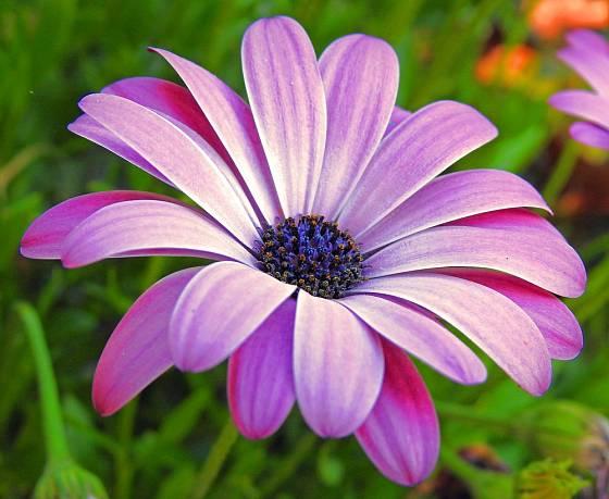 Výrazně modrý středový terč květu se stal základem pro anglický název Blue–eyed daisy.