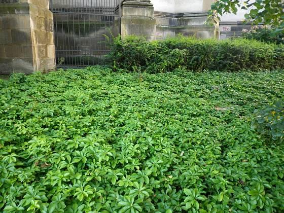 Tlustonitník patří mezi nejodolnější půdopokryvné rostliny