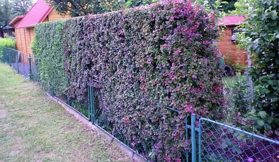 Pletivový plot s dosadbou živého plotu