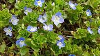 Rozrazil perský (Veronica persica) je u nás nepůvodní druh.