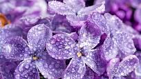 Kvetoucí šeřík - detail květu.
