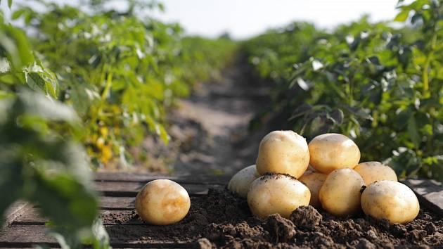 Sázení brambor není tak jednoduché, i půda vyžaduje své
