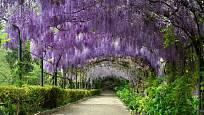 Nádherná loubí z kvetoucích vistárií zdobí i slavné zahrady ve Florencii