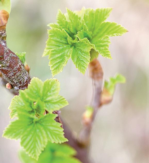 Mladé listy a pupeny především černého rybízu obsahují komplex látek, který působí protizánětlivě