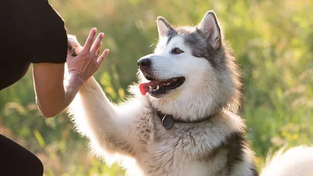 Aljašský malamut patří ke skvělým parťákům.