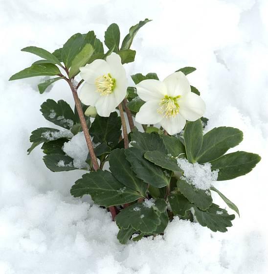 Čemeřice černá (Helleborus niger) kvete bíle.