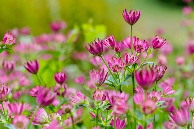 Květy jarmanek mají mnoho odstínů růžové barvy.