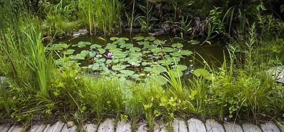 Zahradní jezírko v náruči bahenních rostlin