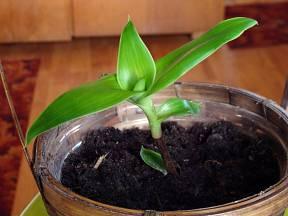 Kalísie voňavá (Callisia fragrans)