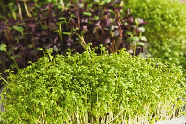 Zelené klíčky jsou chutné a zdravé - vojtěška, hořčice, řeřicha