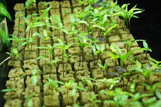 Pěstování v křemičité vatě je velmi obtížné. Foto: Ladislav Kosina