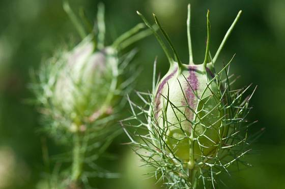Plod černuchy zdobí zahradu i suché vazby