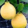 citroník ponderosa