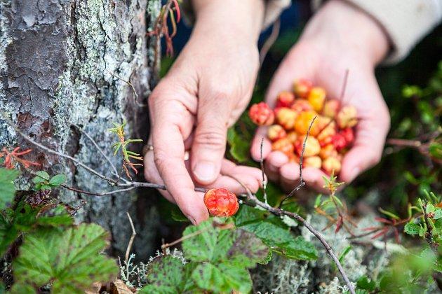Skandinávci sbírají morušky, jako my sbíráme borůvky