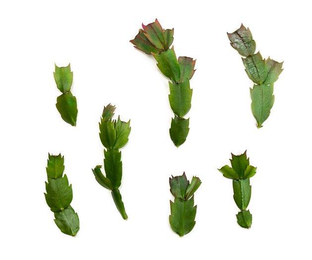 Vánoční kaktus snadno poznáme podle toho, že má listy na okrajích zubaté.
