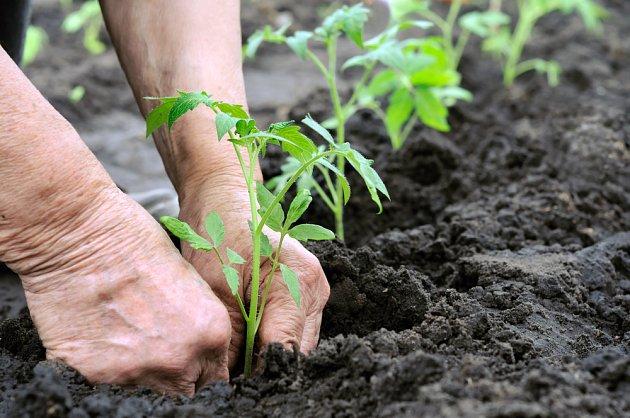 Výsadba rajčat