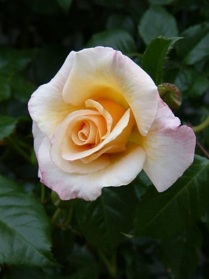 Růže odrůdy Moonlight