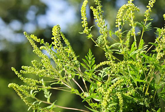 ambrosie peřenolistá (Ambrosia artemisiifolia)