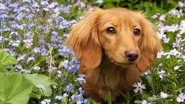Jezevčík je neúnavný lovec i veselý kamarád - Psi a kočky 541517c9a0