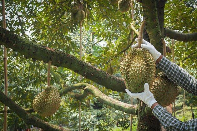 Durian je nutno sklízet v rukavicích