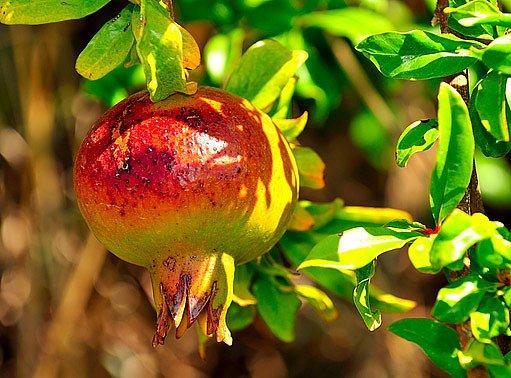 Granátovník je méně  náročný než citrusy