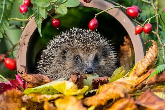 Na podzim hledají ježci úkryty k bezpečnému přezimování