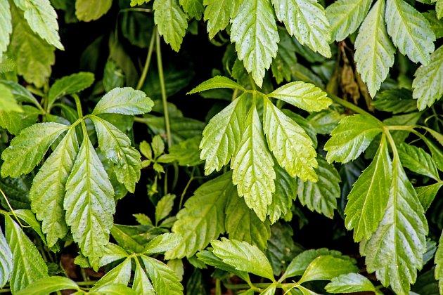 jiaogulan neboli pětilistý ženšen (Gynostemma pentaphyllum)