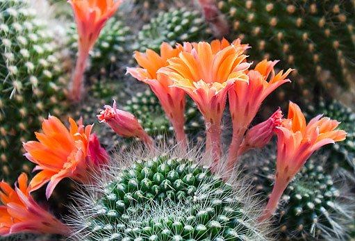 Z krásných květů kaktusů dozrávají semena
