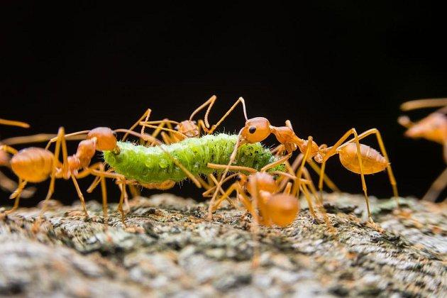 Mravenci zdolají i housenku větší, než jsou sami