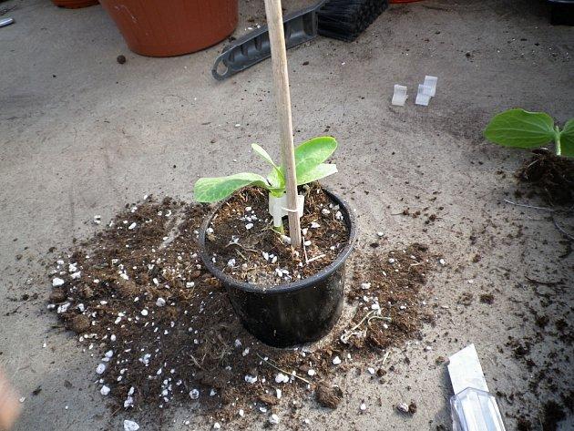 Po dvou týdnech odřízneme kořeny.